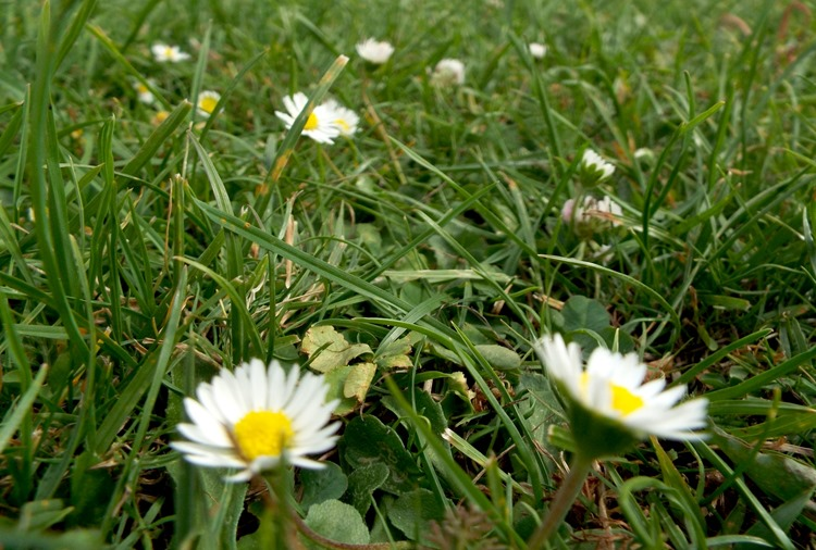 grass and daisys