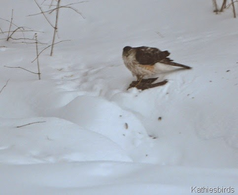 2. cooper's hawk-kab