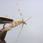 3. Odciągam w lewo nić, chwytam końcówkę pióra szczypczykami ( uwaga, materiał dość delikatny) i wykonuję półtora, najwyżej dwa zwoje jeżynki, podążając w kierunku grotu haczyka.