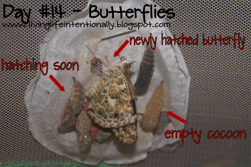 newly hatched butterflies with empty cocoon