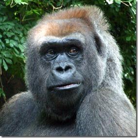 gorilla-2-bronx-zoo