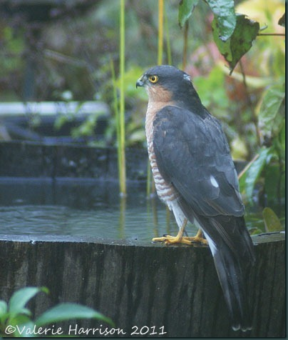 sparrowhawk-on-barrel