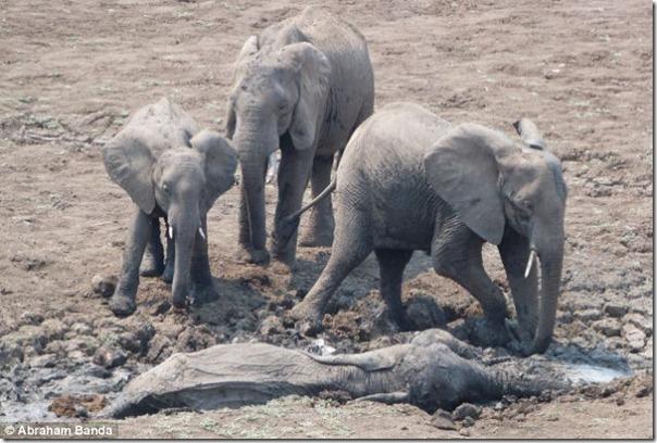 Resgate dramático de um elefante bebê e sua mãe (1)