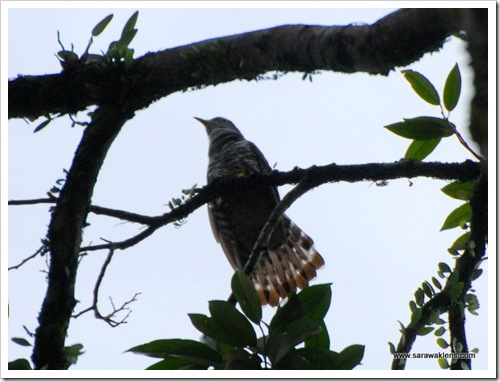 Indian_cuckoo2