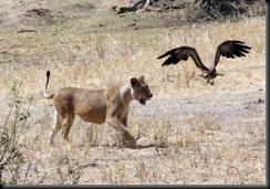 October 24, 2012 lion chasing bird