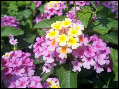lantana2