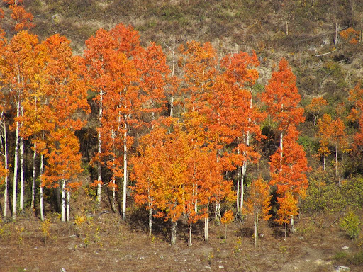 Some very orange aspens