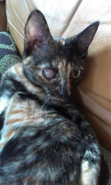 tortie kitten with sore eye