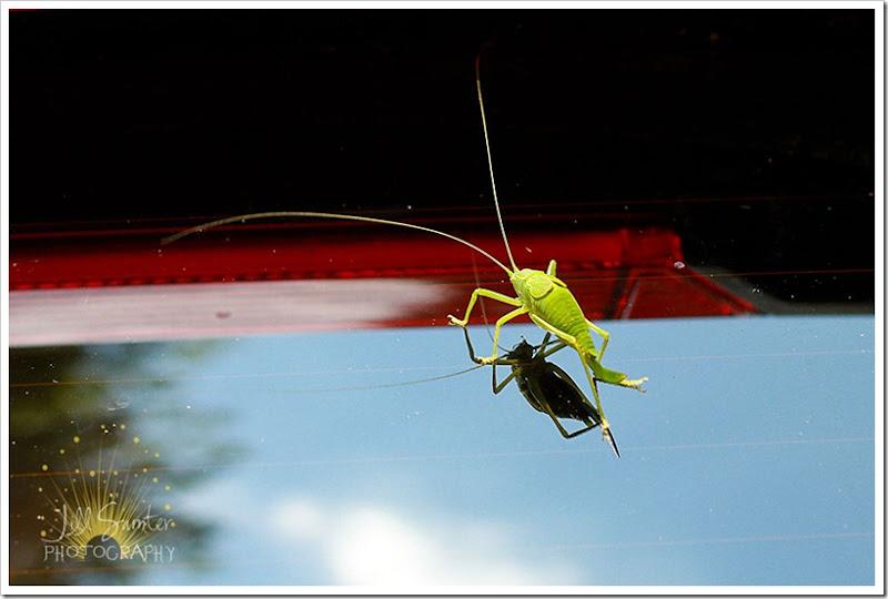 grasshopper-6191
