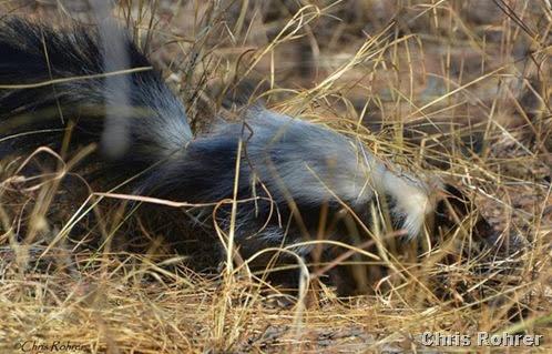 4. Hooded skunk by CRohrer