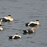 Common and king eiders