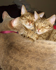 Kai, Kilo, and Koda, ocicats from Deer Park, Texas, love sleeping together. Contributed by txtwyst.