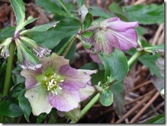 drm c helebores