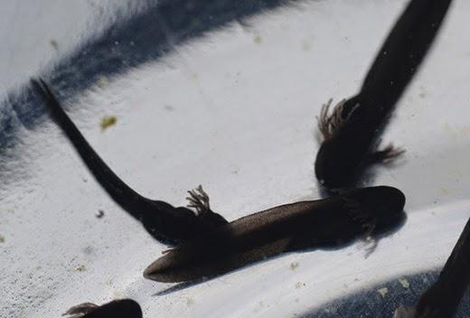 Tadpoles hatchlings