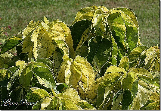FPC_Acalypha_Tropical_Tempest