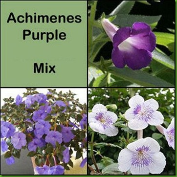 Achimes Purple Mix