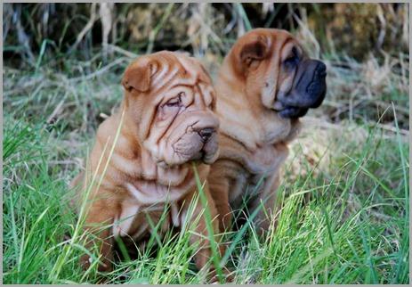 shar_pei_cachorros5 - copia