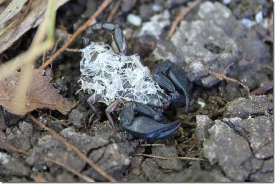 Italienische Skropionmama - Euscorpius italicus