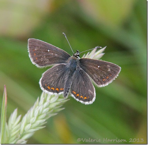 63-Northern-brown-argus