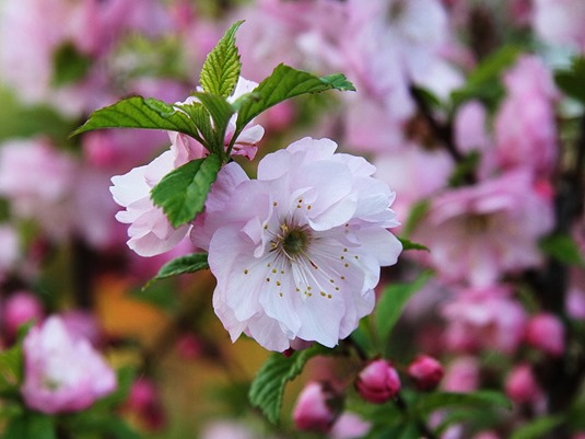 Flowering Almond Blossom