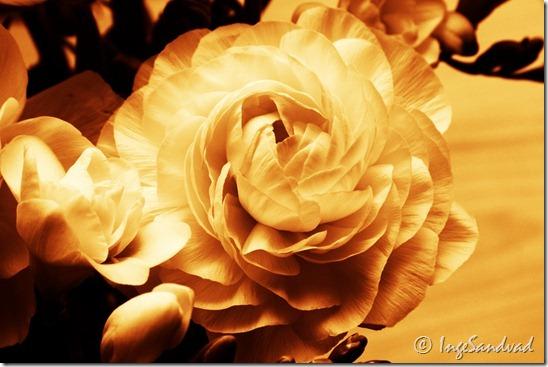 Hvid blomst - burned