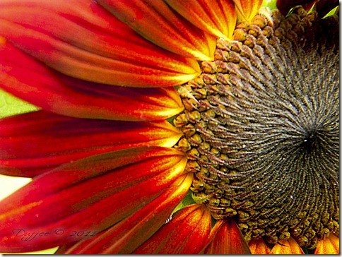 RedBurst Sunflower