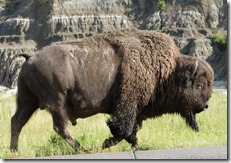 Walking with the buffalo