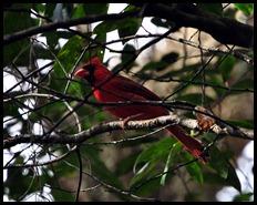 04 - Baynard Trail - Cardinal