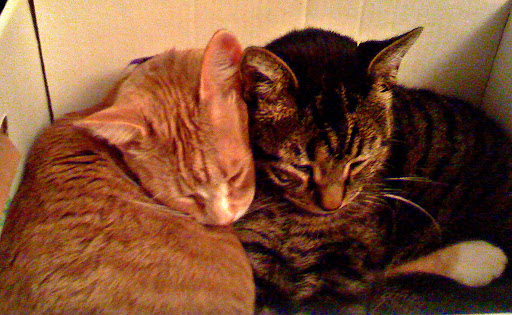 3-legged tabby Olive (on R) began as a foster in need of a home- but when rescued Max (on L)  took it upon himself to always comfort and groom her- Olive became part of the family forever!