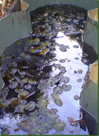 water lilies in a tub