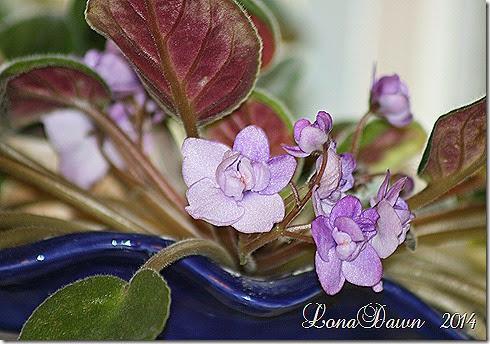 Violets Double Lavender