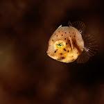 "\""File fish, juv.\"""