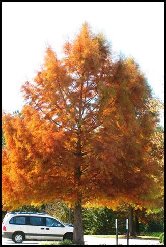 orange pine