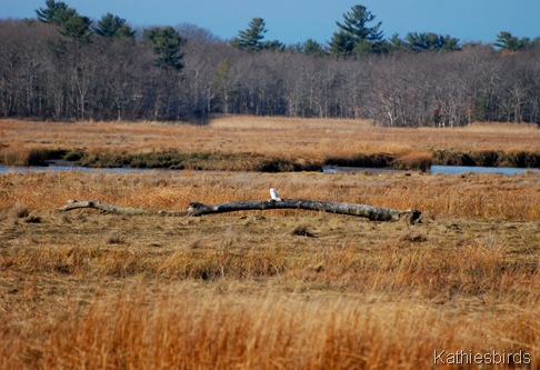 12-2-11b Snowy Owl-kab