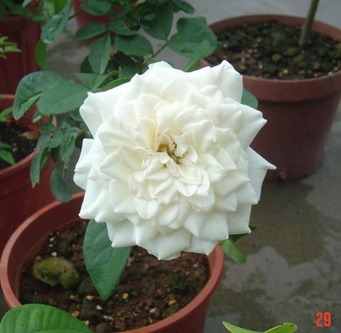 白色梅安05白色梅楊