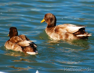 DSC_0228 Not goldeneyes-kab