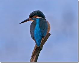 Kingfisher_2_Redeux