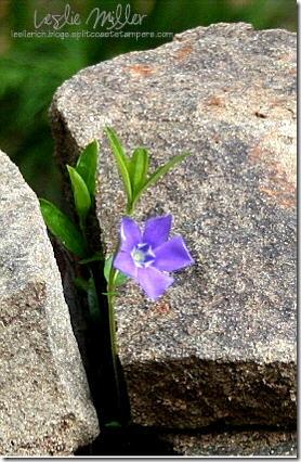 garden-mar08-periwinkle