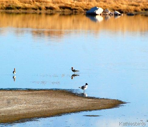 11. Franklin gull-kab