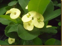 euphorbia-milii-yellow-c-u-own