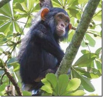 kalinzu forest chimpanzee