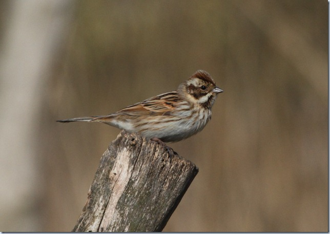 reed_bunting_female