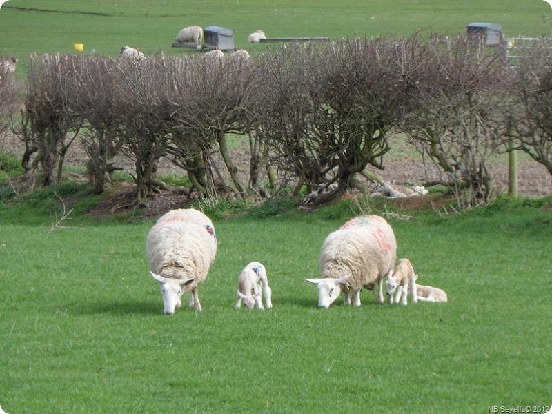 SAM_0037 Lambs