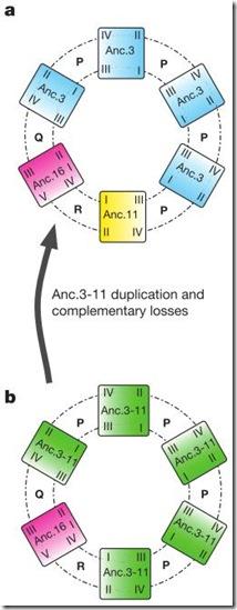 anc3-11_duplication