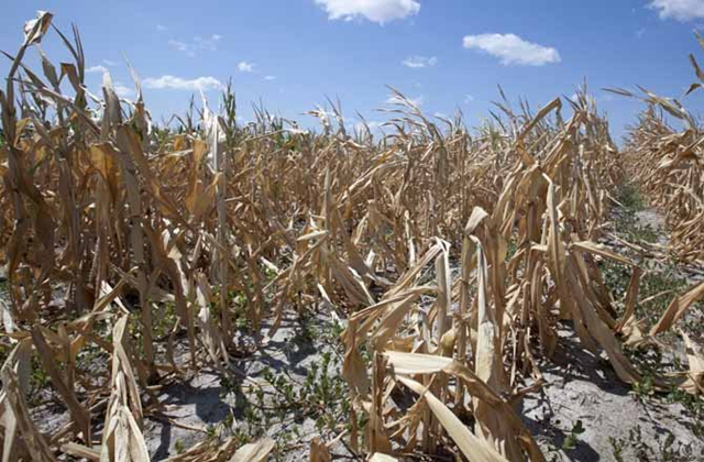 A dry field of corn is seen near Ashland, Nebraska, 9 August 2012. The latest U.S. drought map shows that excessively dry conditions continue to worsen in the Midwest states that are key producers of corn and soybeans. This is the worst U.S. drought in decades. The Associated Press