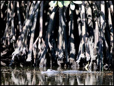 13 - Alligator
