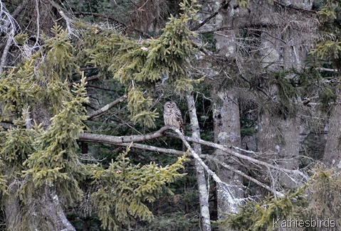 1. Barred Owl-kab
