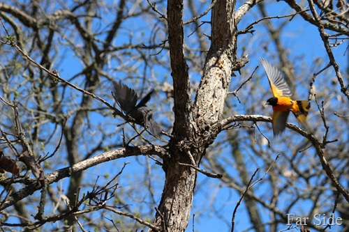 Catbird and B Oriole in flight