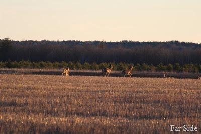 Deer April 25
