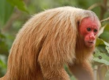Amazing Pictures of Animals, photo, Nature, exotic, funny, incredibel, Zoo, Cacajao Calvus, Blad Uakari, Primate, Mammals, Alex (2)